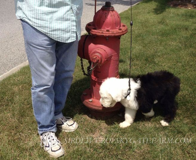 OLLIE AT ORVIS FIRE HYDRANT